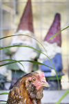 Photos: Backyard chickens