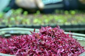 Microgreen amaranth