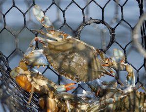 Blue crab industry struggles persist in Va.