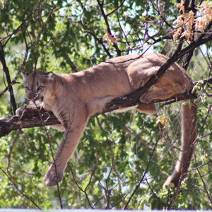 Hunt could thin growing mountain lion population