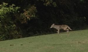 Allen coyote