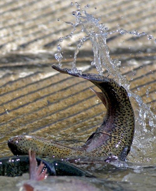 Lake cachuma swimming in fish local for Lake cachuma fishing report