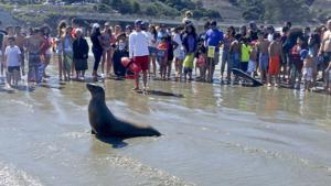 Beached sea lions affected by domoic acid