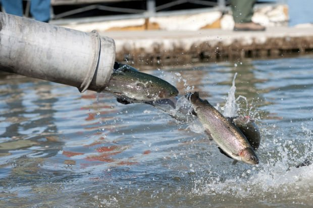 Trout dropped into cachuma lake local for Lake cachuma fishing report