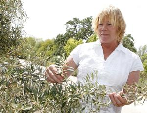 Olive oil comes of age in Santa Ynez Valley