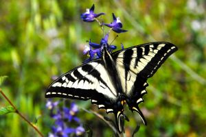 How to bring butterflies into your garden