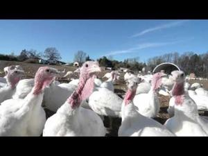 Avian flu no harm to local turkey farm