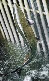 Plan to trap, kill hatchery chinook angers some fishermen