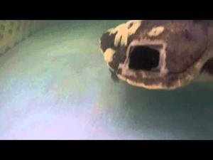 New turtle at Georgia Sea Turtle Center