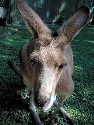 Kangaroo Augusta Phillips saw during travels