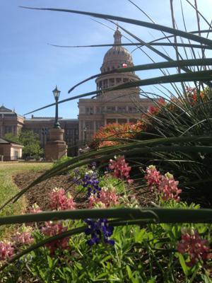Rumors of Aggie mischief circulate as maroon bluebonnets pop up on UT campus