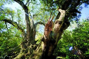112911 Largest oak