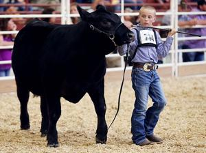 how to show a steer in showmanship