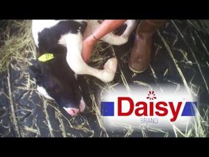 Calves Torn From Mothers, Killed for Daisy Sour Cream