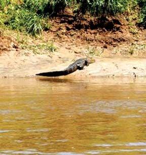 Gator on the run