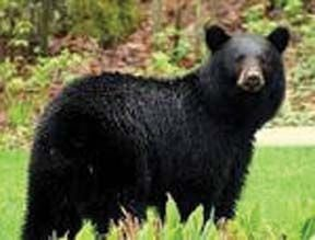 <p>Shooting black bears is illegal in Alabama.</p><p></p>