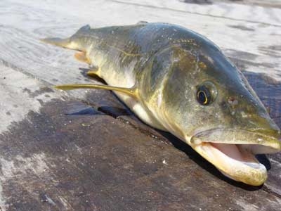 Anglers Catch More Than 155 000 Northern Pikeminnow This