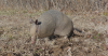 Voice of the Reader: Armadillos find a home in Southern Illinois?