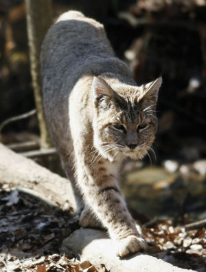Bobcat hunting legislation awaits governor signature