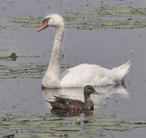 Swan and Duck SAPIX