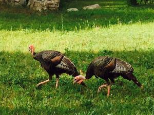 ATW turkeys