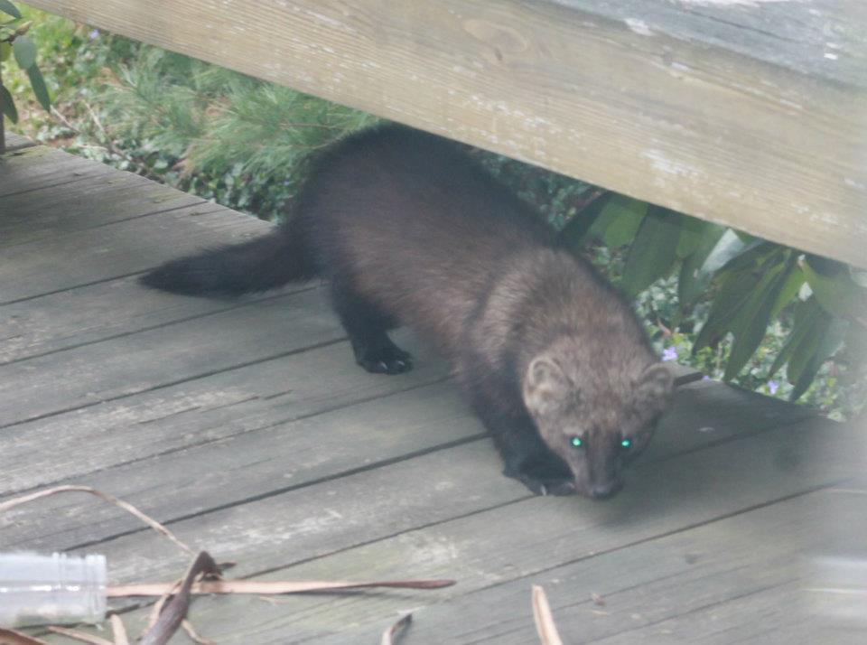 Boy, 12, believed bitten by fisher cat at his Rehoboth home - The Sun Chronicle : Local News