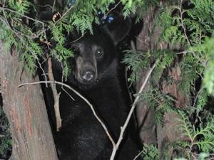 black-bear-WEB