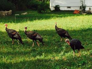 ATW turkeys2