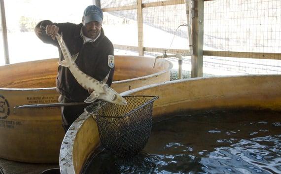 Small fish big ponds hatchery still vital part of the for Fish hatchery jobs
