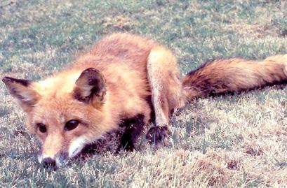 Santee resident suspects fox, raccoon both rabid ... Raccoon With Rabies Foaming