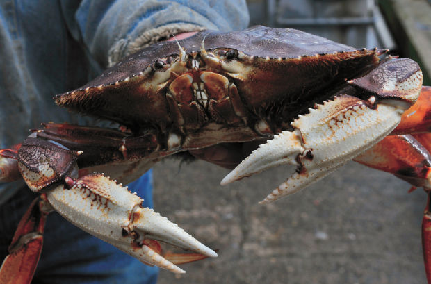 Dungeness Crab Season Oregon 2013 2014 Winter Forecast