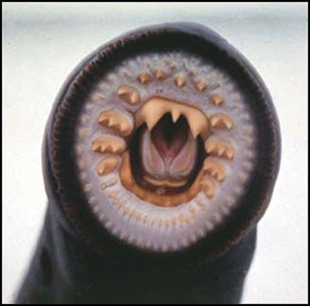 The Pacific Lamprey Eel: Like salmon with fresh water beginning ...