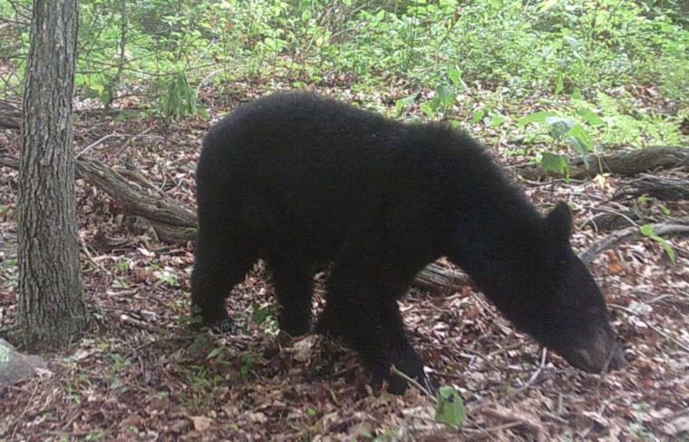 black bear breaks into car destroys interior the cumberland times news news. Black Bedroom Furniture Sets. Home Design Ideas