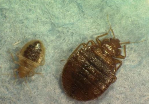 Head Louse On Bed Pictures To Pin On Pinterest