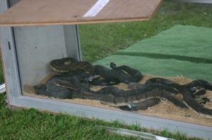 Photos from the Morris Rattlesnake Roundup