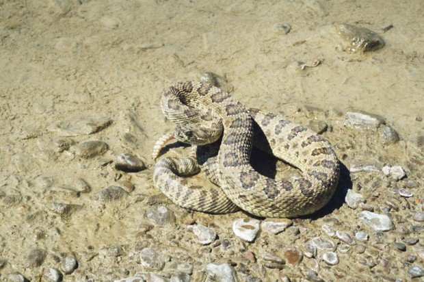 Snakes On The Range Open Spaces Trib Com