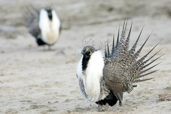 Commission opposes sage grouse farming wyoming news for Wyoming game and fish regulations