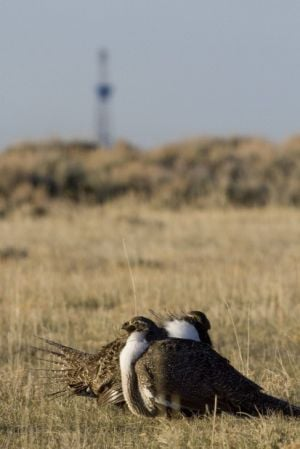 Editorial board: Sage grouse protection shows the way for Wyoming-led good ideas