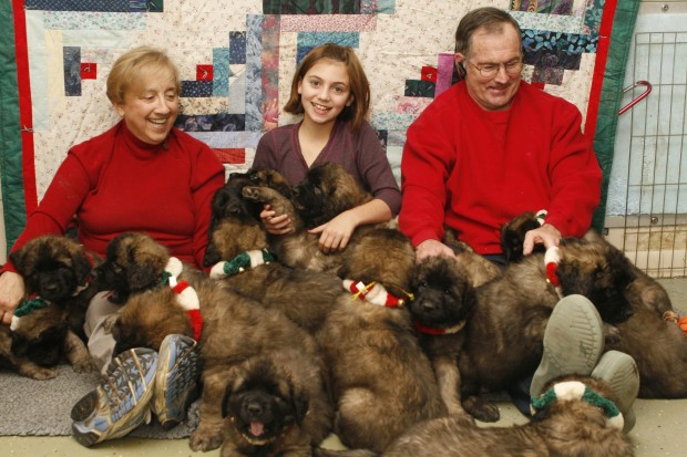 Lots of Leonbergers | Wyoming News | trib.com Leonberger Attack
