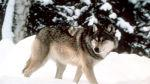 Wyoming heads to court seeking to regain control of wolves