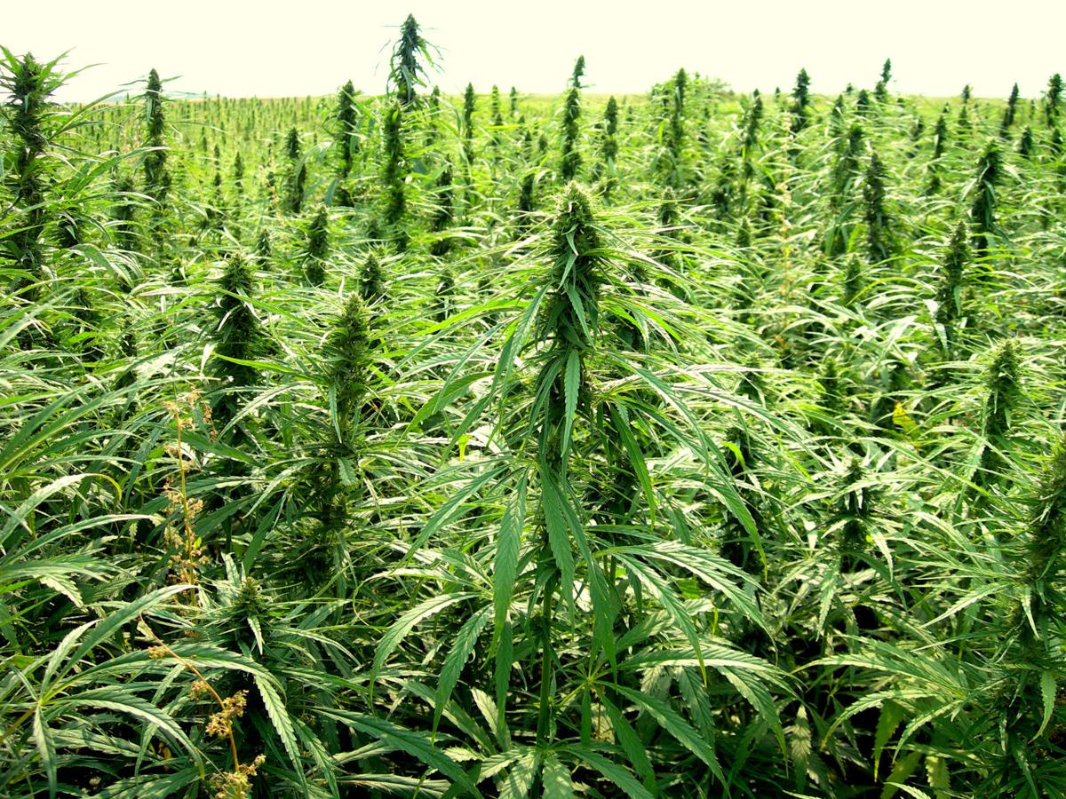 hemp promoters say crop should be legalized grown in