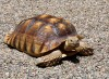 African spur-thigh tortoise