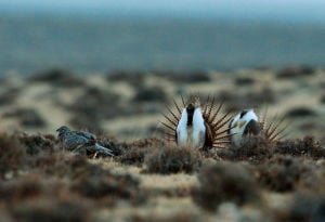Will a Wyoming strategy to save the sage grouse work?