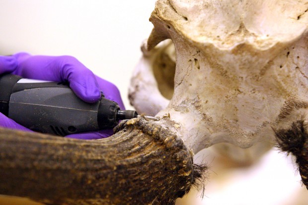 how to clean animal bones