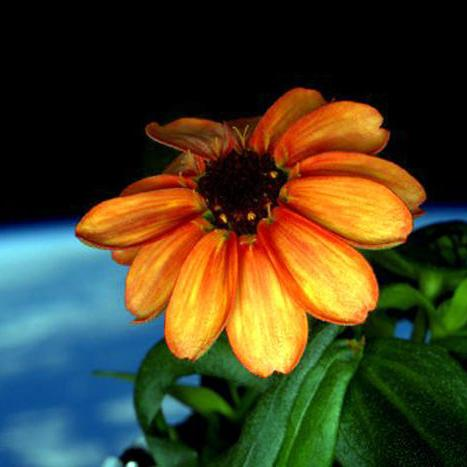 Zinnias Rule – 250 Miles Above the Earth