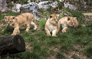 Photos: Birth of rare lion cubs announced