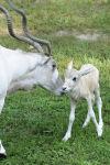 Brookfield Zoo Addax Calf