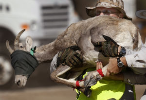 Photos: Bighorn sheep capture