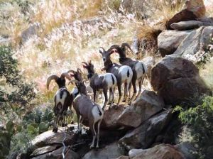 Wildlife officials to hikers: Help protect bighorns
