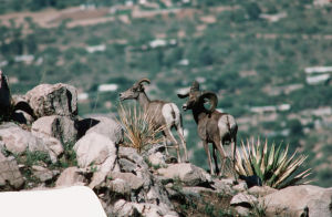 Bighorns could be moved to Catalinas
